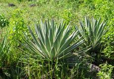 Aloe verde in giardino tropicale nell'ambito di luce solare Foto esotica dell'erba della natura di giorno soleggiato Fotografia Stock