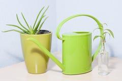 Aloe verde sembrante sano vera della pianta in vaso Fotografia Stock
