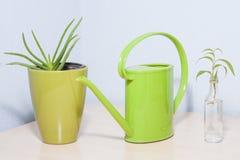 Aloe verde sembrante sano vera della pianta in vaso Immagine Stock Libera da Diritti