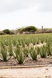 Aloe verde vera Immagine Stock