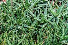 Aloe verde vera Immagini Stock