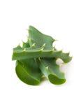 Aloe verde Vera del foglio Immagine Stock