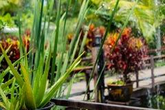 Aloe verde vera sul balcone Fotografia Stock