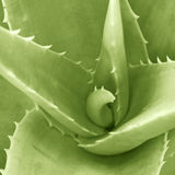 Aloe Verta Detail Royalty Free Stock Image