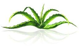 Aloe Watercolor μικρός θάμνος Διανυσματική απεικόνιση