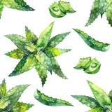 Aloe Watercolor σχέδιο της Βέρα λευκό απεικόνισης δακτυλικών αποτυπωμάτων ανασκόπησης Απεικόνιση αποθεμάτων