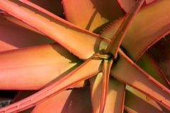 Aloeaceae, aloes Buettneri, Zachodni - afrykańskie sawanny fotografia stock