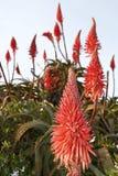 Aloeanlage Stockfotografie