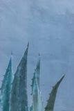 Aloeanlage mit blauem Hintergrund Lizenzfreie Stockfotografie