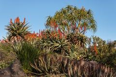 Aloeanlagen in der Blüte Lizenzfreie Stockfotografie