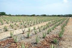 Aloeanlagen, die auf einem Gebiet auf Aruba-Insel kultiviert werden stockbild