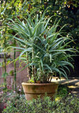 Aloeanlagen im Potenziometer Stockfotografie