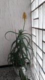 Aloeblüten Stockbild