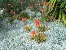 aloeblommor arbeta i trädgården red Royaltyfri Bild