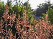 Aloeblomning på den Los Angeles County arboretumen & botaniska trädgården Arkivbild