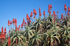 Aloeblumen und -anlagen gegen einen blauen Himmel lizenzfreie stockfotografie