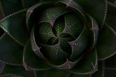 Aloerosettnärbild från över royaltyfri bild