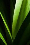 Aloesów liście Fotografia Royalty Free