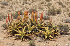 Aloes Obrazy Stock