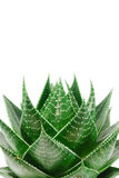 aloes Obraz Stock