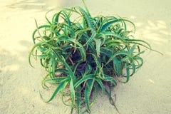 Aloes Bush Obraz Royalty Free