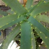 Aloes Bush zostaw kłujący Zdjęcie Royalty Free