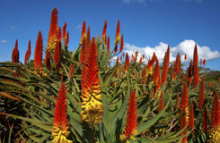 Aloes in een tuin Stock Fotografie