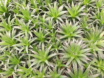 Aloes  field Royalty Free Stock Images