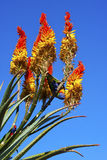Aloes in a garden Stock Image