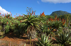 Aloes in a garden. Aloes in the Wollongong Botanical Gardens Royalty Free Stock Image