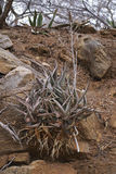 Aloes growing in a rocky bank #2 Royalty Free Stock Photos