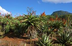 Aloes i en trädgård Royaltyfri Bild