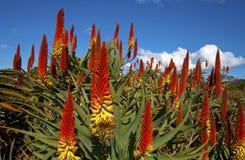 Aloes i en trädgård Arkivbild