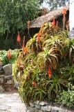 Aloes jako domowa dekoracja Fotografia Royalty Free