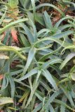 aloes Japan zrobił fot rośliny Tokyo Obrazy Royalty Free