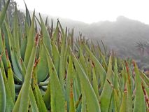 Aloes in the mist Royalty Free Stock Photos