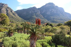 Aloes with Mountain backdrop Royalty Free Stock Photography