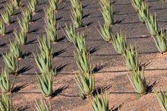 Aloes plantacja zdjęcie royalty free