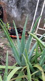 Aloes Plantas Obrazy Royalty Free