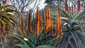 Aloes Stock Photos