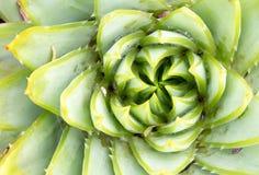 Aloes Polyphilla - Ślimakowaty aloes zdjęcia stock
