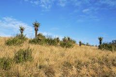 Aloes rośliny i zima obszar trawiasty Przeciw Błękitnemu Chmurnemu niebu Zdjęcie Stock