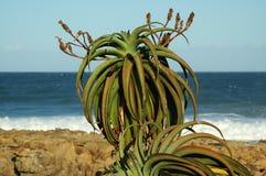 Aloes roślina -2 Fotografia Royalty Free