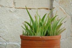 aloes roślina Vera Obraz Stock