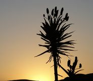 Aloes sylwetka Zdjęcie Royalty Free
