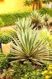 Aloes tłustoszowata roślina na wietnamczyka parku Fotografia Royalty Free
