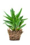 Aloes Vera Zdjęcia Royalty Free