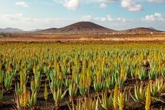 Aloes Vera Fotografia Stock