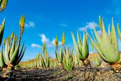 Aloes Vera Obraz Royalty Free