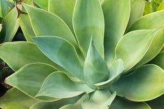Aloes Vera Zdjęcie Stock